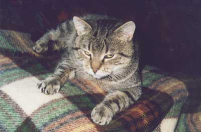 adopcja kota dorosłego